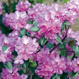 Zwerg Rhododendron P. J. Mezitt 25-30cm - Rhododendron impeditum - Zwerg Alpenrose - Vorschau