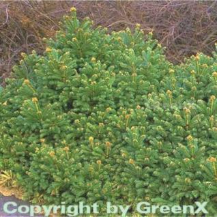 Gnomfichte 50-60cm - Picea abies - Vorschau