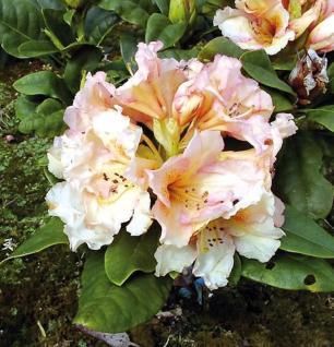Großblumige Rhododendron Norfolk Candy 30-40cm - Alpenrose - Vorschau
