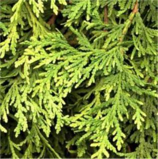 Zwerg Lebensbaum Stolwijk 20-25cm - Thuja occidentalis - Vorschau