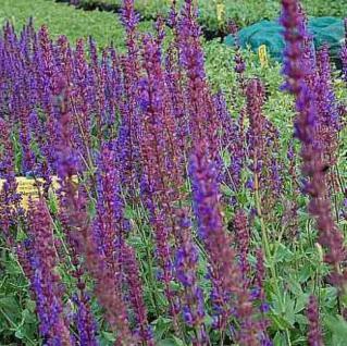 Salbei Wesuwe - Salvia nemorosa - Vorschau