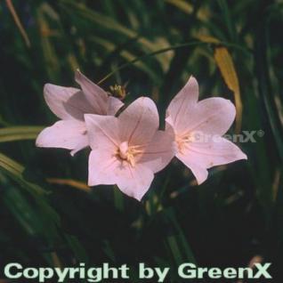 Ballonblume Perlmutterschale - Platycodon grandiflorus - Vorschau