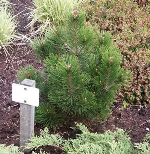 Zwerg Schlangenhautkiefer Little Dracula 30-40cm - Pinus leucodermis - Vorschau