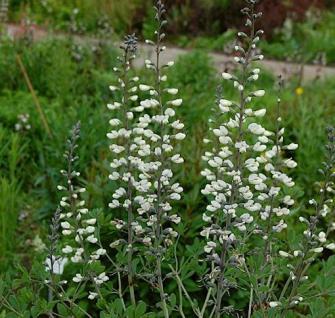 Weiße Färberhülse - Baptisia leucantha - Vorschau