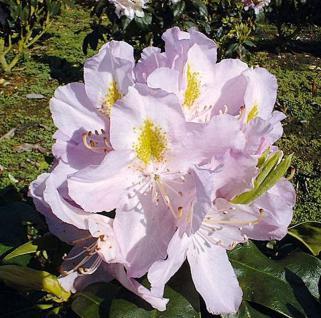 Großblumige Rhododendron Genoveva 25-30cm - Alpenrose - Vorschau