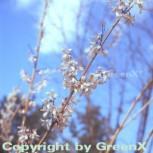 Schneeforsythie 60-80cm - Abeliophyllum distichum - Vorschau