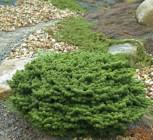 Zwerg Balsam Tanne Piccolo 10-15cm - Abies balsamea - Vorschau