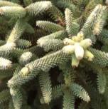 Gelbe spanische Tanne 20-25cm - Abies pinsapo