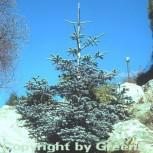 Blaue Edeltanne 100-125cm - Abies procera