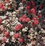 Stachelnüßchen Kupferteppich - Acaena microphylla - Vorschau
