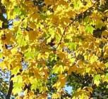 Kolchische Gold Ahorn 80-100cm - Acer cappadocicum Aureum