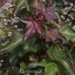 Kolchischer Blutahorn 100-125cm - Acer cappadocicum Rubrum - Vorschau