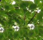 Cissusblättriger Ahorn 125-150cm - Acer crissifolium - Vorschau