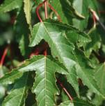 Feuer Ahorn 100-125cm - Acer ginnala