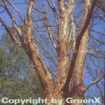 Zimtahorn 100-125cm - Acer griseum - Vorschau