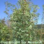 Französischer Ahorn 80-100cm - Acer monspessulanum - Vorschau