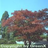 Roter Fächerahorn 60-80cm - Acer palmatum Atropurpureum - Vorschau