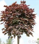 Fächer Ahorn Crimson Sentry 100-125cm - Acer palmatum - Vorschau
