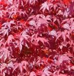 Fächerahorn Fireglow 80-100cm - Acer palmatum - Vorschau