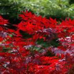 Kleinblättriger Zwergahorn Hime Shojo 30-40cm - Acer palmatum - Vorschau
