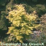 Fächerahorn Orange Dream 60-80cm - Acer palmatum