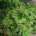 Geschlitztblättriger Fächer Ahorn Seiryu 80-100cm - Acer palmatum - Vorschau