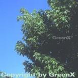 Silber Ahorn Zuckerahorn 80-100cm - Acer saccharinum