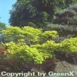 Japanischer Goldahorn 25-30cm - Acer shirasawanum Aureum - Vorschau