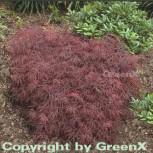 Dunkelroter Schlitz Ahorn Garnet 80-100cm - Acer palmatum - Vorschau