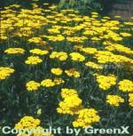 Goldschafgarbe Coronation Gold - Achillea filipendulina - Vorschau