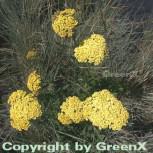 Schafgarbe Credo - Achillea filipendulina