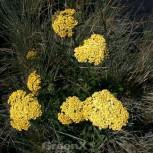 Schafgarbe Hella Glashoff - Achillea filipendulina