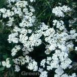 Schafgarbe Alabaster - Achillea millefolium - Vorschau
