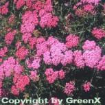 Schafgarbe Kelwayi - Achillea millefolium
