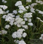 Schafgarbe White Beauty - Achillea millefolium - Vorschau