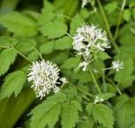 Christophskraut - Actaea erythrocarpa