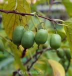 Selbstfruchtende Kiwi Issai 60-80cm - Actinidia arguta