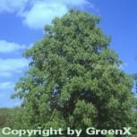 Gelbe Roßkastanie Vestita 80-100cm - Aesculus flava