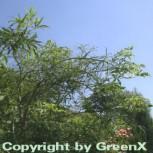 Geschlitzblättrige Rosskastanie Laciniata 60-80cm - Aesculus hippocastanum - Vorschau