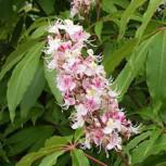 Indische Rosskastanie Sidney Pearce 80-100cm - Aesculus indica
