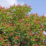 Orangeblühende Roßkastanie 40-60cm - Aesculus mutabilis