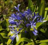 Liebesblume Schmucklilie Back in Black - Agapanthus africanus - Vorschau