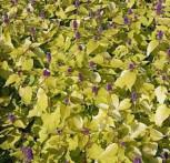 Mexikonessel Golden Jubilee - Agastache rugosa - Vorschau