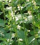 weißer Odermenning - Agrimonia eupatoria - Vorschau