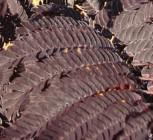 Seidenakazie Summer Chocolate - Schlafbaum 40-60cm - Albizia julibrissin - Vorschau