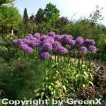 Zierlauch Globemaster - Allium macleanii