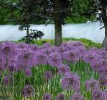 Zierlauch Gladiator - Allium aflatunense - Vorschau
