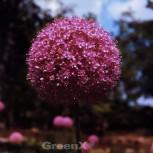Zierlauch Jackpot - Allium cultorum