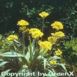 Gelber Lauch - Allium flavum - Vorschau