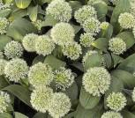Zierlauch Goldgelb - Allium karataviense
